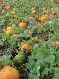 Pumpkin Patch Glastonbury Ct by Exit 23 U2013 A Maze Ing Ma Vie à Someplace In This World
