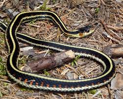 Garter Snakes Most Common Snake In Idaho Naturally North