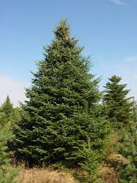 Balsam Christmas Tree Care by North Star Christmas Trees Large Trees