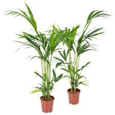 kentia palm howea forsteriana pro 2 stück zimmerpflanze im aufzuchttopf cm18 cm 100 cm