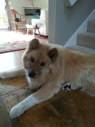 Do Akitas Shed Bad by This Is Bork He Is A 12 Year Old Woolly Akita That Lives Near Me