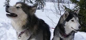 do huskies or malamutes shed more siberian husky vs alaskan malamute k9 research lab