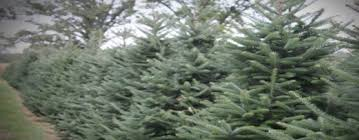Balsam Christmas Trees by Bartels Farm Christmas Trees