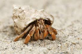 Do Hermit Crabs Shed Their Whole Body by Crabs Information