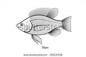 Tilapia Fish Outline Vector Illustration