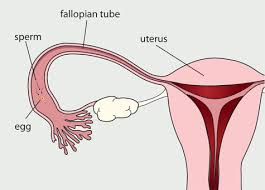 Thick Uterine Lining Shedding During Period by The Menstrual Cycle Womenshealth Gov