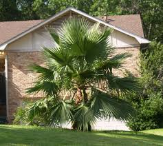 Hardy Palms for Northeast Texas