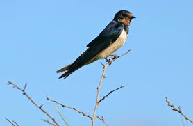 ♫ Barn Swallow - Song / Call / Voice / Sound. Flying Barn Swallow Stock Photo Image Of Swift Martin 13408420 Perching Birds Lake Apopka Wildlife Audubon Guide To North American Ebirdr Watercolor Blue Bird On Stock Illustration 302720159 Warsciowestronytop Words On Another Blog First Chicks Swallows Including And Tree