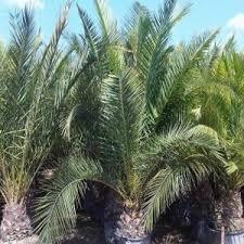 prix des palmiers exterieur palmier canariensis palmiers