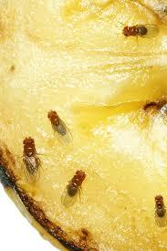 fruchtfliegen die besten tipps gegen die plagegeister gala de