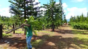 Leyland Cypress Christmas Tree Growers by My Point Of Heu Local Christmas Trees Are Better