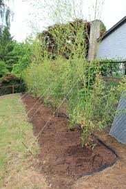 Controlling Bamboo Install Bamboo Fence Roll Peiranos Fences Perfect Landscape Design Irrigation Blg Environmental Filebamboo Growing In Backyard Of New Jersey Gardener Springtime Using In Landscaping With Stone Small Square Foot Backyard Vegetable Garden Ideas Wood Raised Danger Garden Green Privacy For Your Decorative All Home Solutions Spiring And Patio Small Square Foot Vegetable Gardens Oriental Decoration How To Customize Outdoor Areas Privacy Screens