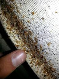 Carpet Beetles vs Bed Bugs Bed Bug Treatments & Removal