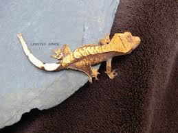 Extreme Halloween Crested Gecko by Crested Junkie Crested Gecko Gallery