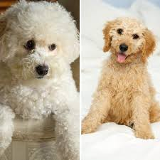 Best Mini Dogs That Dont Shed by Best And Worst Dog Breeds For People With Allergies Everyday Health