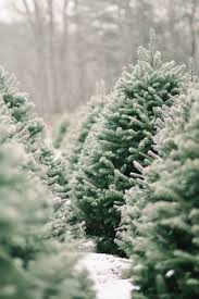 Balsam Christmas Trees by Shopper U0027s Diary A Christmas Tree Farm In Maine Gardenista