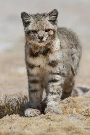 mountain cat a montanha andina bela incrível gatos mountains