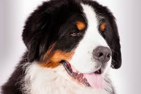 Dogs That Shed Very Little by Bernese Mountain Dog Breed Information American Kennel Club