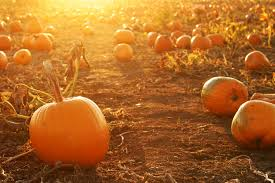 Pumpkin Picking Long Island Ny by 7 Places For Long Island Pumpkin Picking Long Island Pulse Magazine