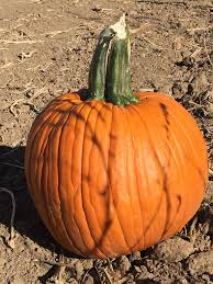 Pumpkin Patches In Colorado Springs 2014 by Hergenreder Farms Home Facebook