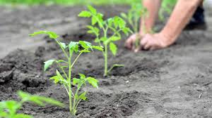 Planting Tomato Plant Seedlings In A Home Garden