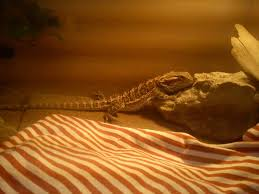 Bearded Dragon Shedding In Patches by Sensitive U2022 Bearded Dragon Org