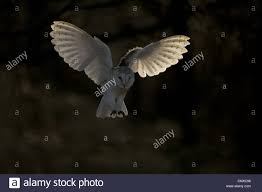 Barn Owl (Tyto Alba), Hunting, United Kingdom, Scotland ... This Galapagos Barn Owl Lives With Its Mate On A Shelf In The Baby Barn Owl Owls Pinterest Bird And Animal Magic Tito Alba Sitting On Stone Fence In Forest Barnowl Real Owls Echte Uilen Wikipedia Secret Kingdom Young Tyto Roost Stock Photo 206862550 Shutterstock 415 Best Birds Mostly Uk Images Feather Nature By Annette Mckinnnon 63 2 30 Bird Great Grey