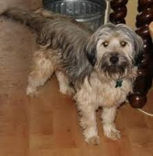 Do Wheaten Terrier Dogs Shed by Adopt Brussels On Wheaten Terrier Terrier Mix And Terrier Dogs