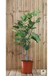 feigenbaum pflege tipps für die feigenkultur meine orangerie