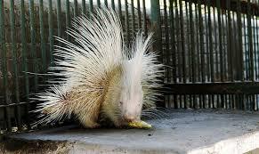 Porcupine Eats Pumpkin by Porcupine 22 Stunningly Rare Albino Animals Mnn Mother