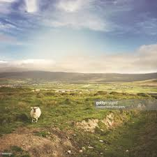 100 Brays Island Sheep On Head Valentia Looking At The Camera