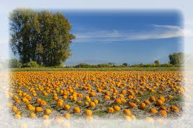 Pumpkin Picking Patchogue Ny by Spina Farms Pumpkin Patch 264 Photos 99