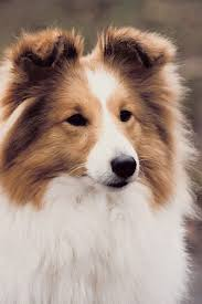 Sheltie Shedding Puppy Coat by Making Your Sheltie Smell Good Dog Care The Daily Puppy