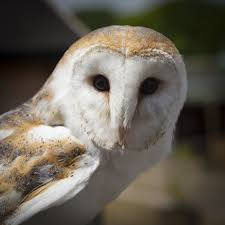 Barn Owl Free Stock Photo - Public Domain Pictures Where To See Barn Owls In The Uk Barn Owl Vs Peregrine Falcon Greylag Goose Super Powered Owls Black Hills Audubon Society Burts Birds Sept 2017 Vancouver Struggling Adapt As City Grows Study 47 Owl Hd Wallpapers Backgrounds Wallpaper Abyss Teton Raptor Center Heyitsbarnowl Twitter Tyto Alba Species Owlingcom Field Guide Turtle Bay Not Just A Pretty Face The Facial Ruff Of And Sound