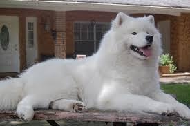Do Samoyed Huskies Shed by 142 Best Samoyed Images On Pinterest Animals Puppies And
