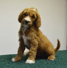 No Shed Dogs Medium by Goldendoodle Association Of North America All About Goldendoodle
