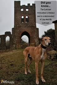 100 non shedding dogs ireland irish setter irish setter pet