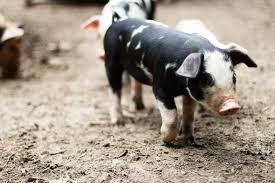 Hog Farming 101 – Righteous Bacon Pin By Pat Wozniak On Pork Pinterest Business Planning Afc Pig Farm Ecomavrovic How To Raise Pastured Pigs Without Buying Feed Httpwww Tammi Jonas Food Ethics Farming Plan Sample Dsc Raising Pros Cons The Prairie Homestead Figueroa Breeding Gguinto Bulacan Youtube Gloucestershire Old Spot Pigs And That Farm There Was To Make Your Own Pig Feed The Organic Farmer Heaven What Makes Free Range Different Downtoearth 54 Best Images Farming Backyard In Nigeria Detail Post Practical Traing Its Time Front Yard Farmer