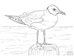 Laughing Gull Birds Seagulls Coloring Pages