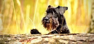 Do Hypoallergenic Dogs Still Shed by Popular Hypoallergenic Dog Breeds Mypetzilla