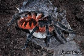 Do Tarantulas Shed Their Legs by Everything You Ever Wanted To Know About The Panama Blonde