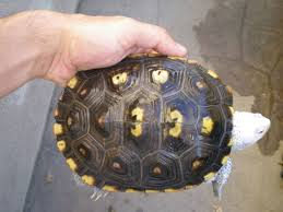 Turtle Shell Not Shedding by Diamondback Terrapin World Scute Shedding