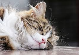 renal failure in cats phosphorus can be key for kidneys feline nutrition foundation