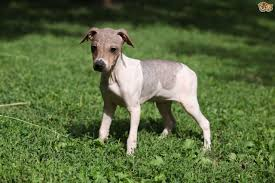 Why Is My Italian Greyhound Shedding by The Four Recognised Hairless Dog Breeds Pets4homes