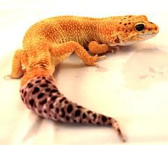 Crested Gecko Shedding Behavior by Basic Care Leopard Gecko Arizona Exotics Lizards Resources
