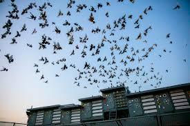 100 Pigeon Coop Plans Olson Kundig Designs Pigeon Lofts For Duke Rileys Fly By