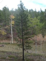Christmas Tree Cutting Permits Colorado Springs by Pike And San Isabel National Forests Cimarron And Comanche
