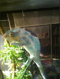 Basking Lamp For Chameleon by A Word On Heat Sources And Burning Your Animals Treatment Info