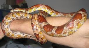 Corn Snake Shedding Too Often snakes archives snakey sue live snake encounters