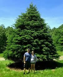 Our Featured Extra Large Christmas Tree This Year Is A 25 Balsam Fir Beauty Worthy
